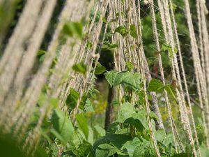Green bean plants on a trellis.