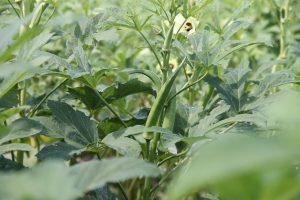 Okra plant