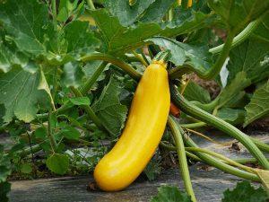 Yellow Squash plant