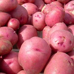 Stargazer Perennials' Red Pontiac seed potatoes