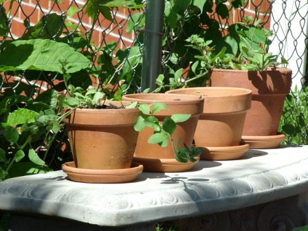Container garden using terracotta clay pots.