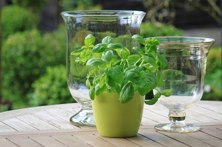 container gardening - basil in a coffee mug
