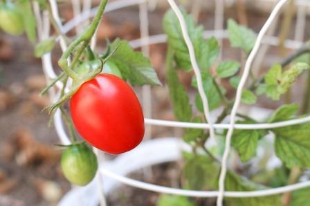 container garden - bush tomato in a cage