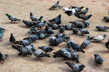 Pigeon populations grow rapidly.