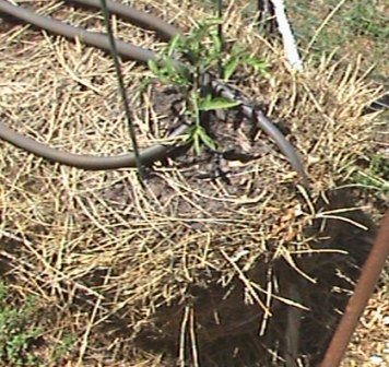 Soaker hose looped around a straw bale tomato plant.