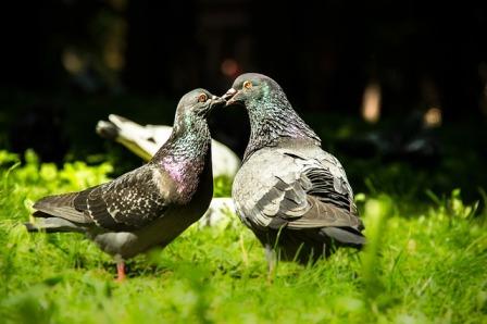 Pigeons eating plants.