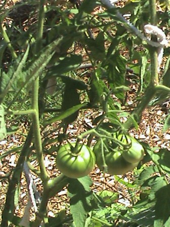 Tomatoes on the trellis.