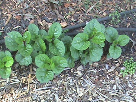 Malabar spinach growing well.