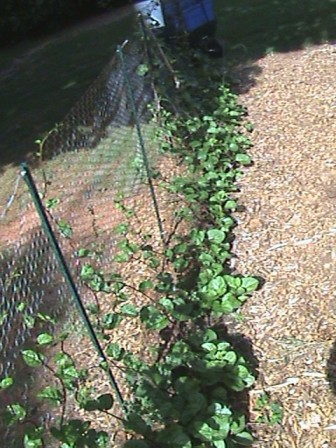 Malabar Spinach climbing the fence.