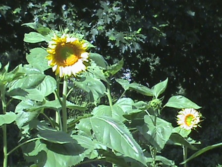 Healthy looking sunflowers.