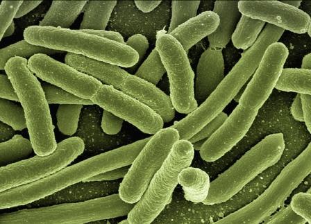 Bacterium - Clostridium botulinum.