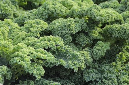 Curly leaf kale.