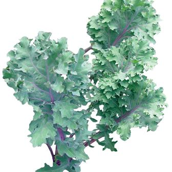 Red Winter Organic kale.