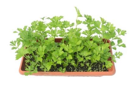 Celery transplants.
