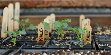 Kale transplants.