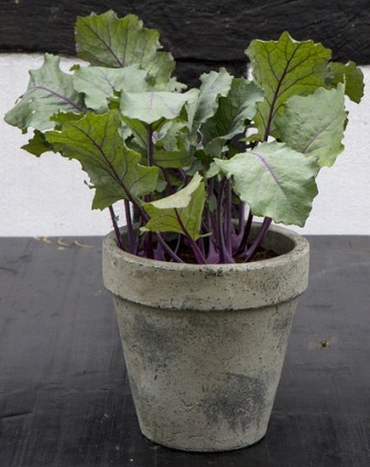 Kale as a container plant.