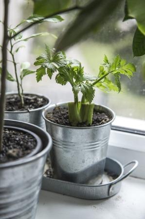 Regrowing celery sticks.