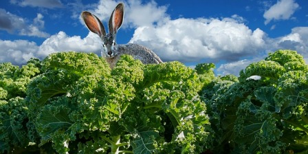 Rabbits love kale.