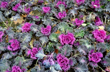 Ornamental kale.