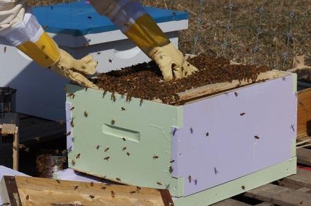 Beekeeping - pulling hive plate.