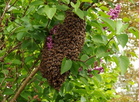 Bees swarm around the queen.
