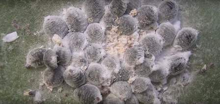Cochineal insects on a prickly pear cactus.