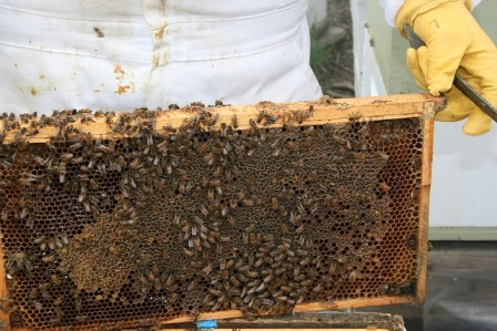 Worker bees in a hive.