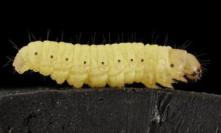 Waxworm farming