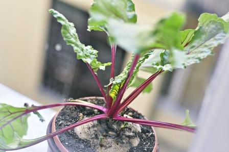 Beet seedling transplant.