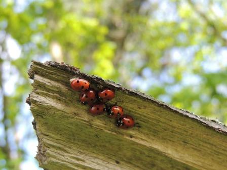 Ladybug (ladybird) farming
