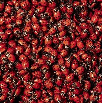 Double Order 3000 Live Ladybugs (2 Packs of 1500)