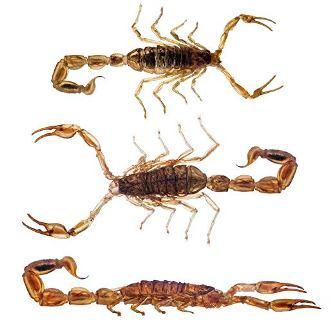 Manchurian Scorpions