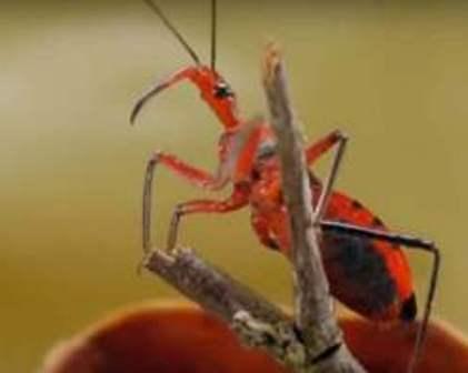 Reddish orange and black assassin bug.