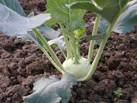 Growing White Vienna Kohlrabi in the garden.