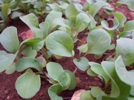Arugula - rocket salad