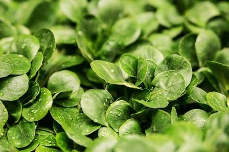 Mâche or Lamb's lettuce