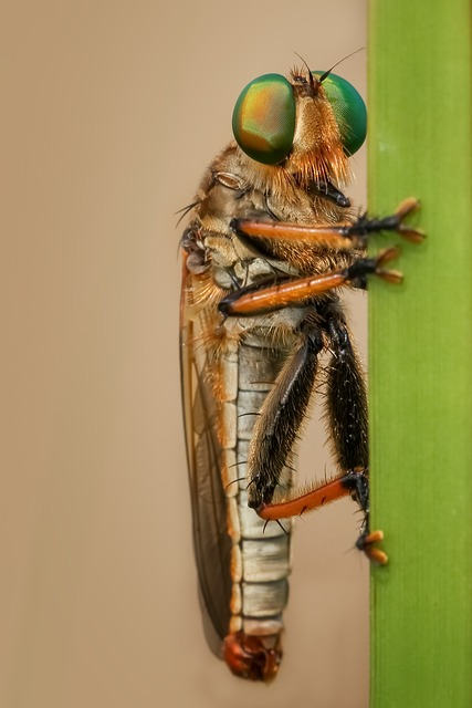 Robber fly waiting for a meal.