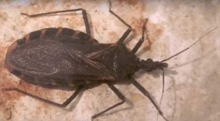 Kissing bugs infect us with Chagas disease.