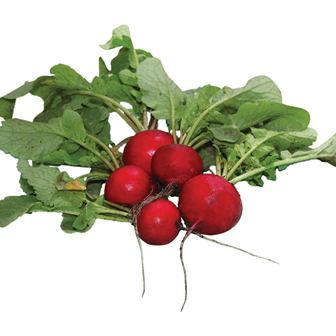 Radishes - Early Scarlet Globe