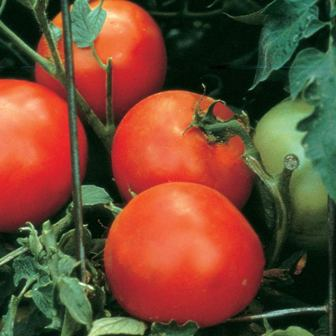Tomatoes - Celebrity Hybrid