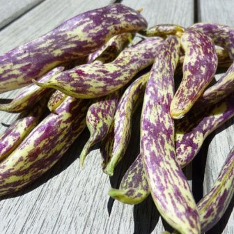 Dragon Tongue Langerie Beans by Stonysoil