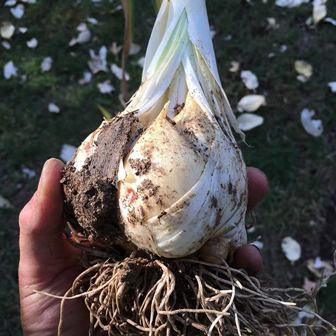 Elephant Garlic Bulbs