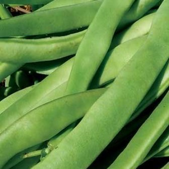 Bush Beans - Kentucky Wonder Bush