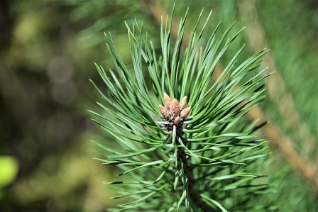 Evergreen trees are pine trees and they don't have leaves!