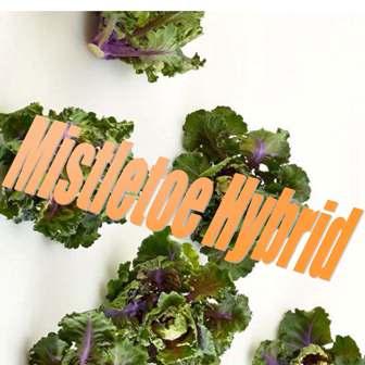 Mistletoe Hybrid kalettes