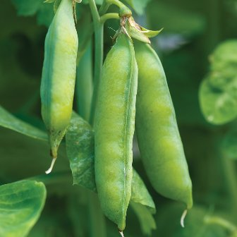 Peas - Blue Bantam Heirloom