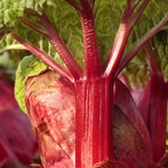 Crimson Red Rhubarb plants by Growers Solution
