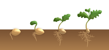 Stages of germination.