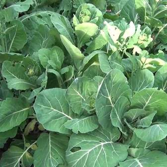 Collard greens growing well.