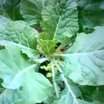 Large collard green leaves ready to harvest.